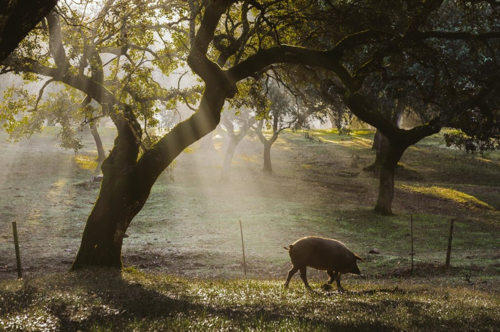 fotografo gastronomico, jabugo cincojotas iberico, fotografo cinco jotas, cerdos aracena, fotografo de jamon, campo, cerdo, iberico, gourmet